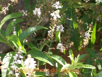 verveine en fleur