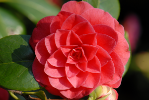 CAMELLIA PHOTO BORDEAUX