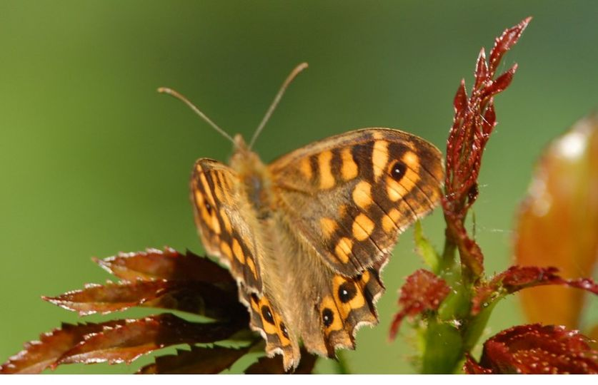 Papillon Le 4 juin 2020 à Bruges