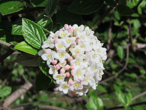 VIBURNU en fleurs1