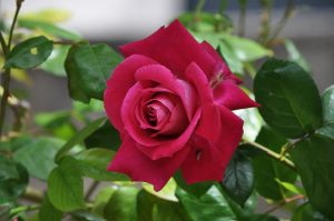LES ROSES DUCOIN